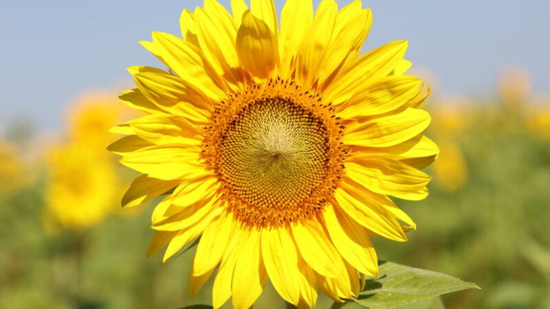 Sonnenblume von vorne