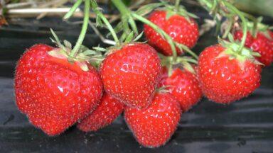 Erdbeeren Erdb Frucht nah 4